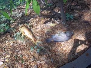 CMU Deadly Pond 2 fish