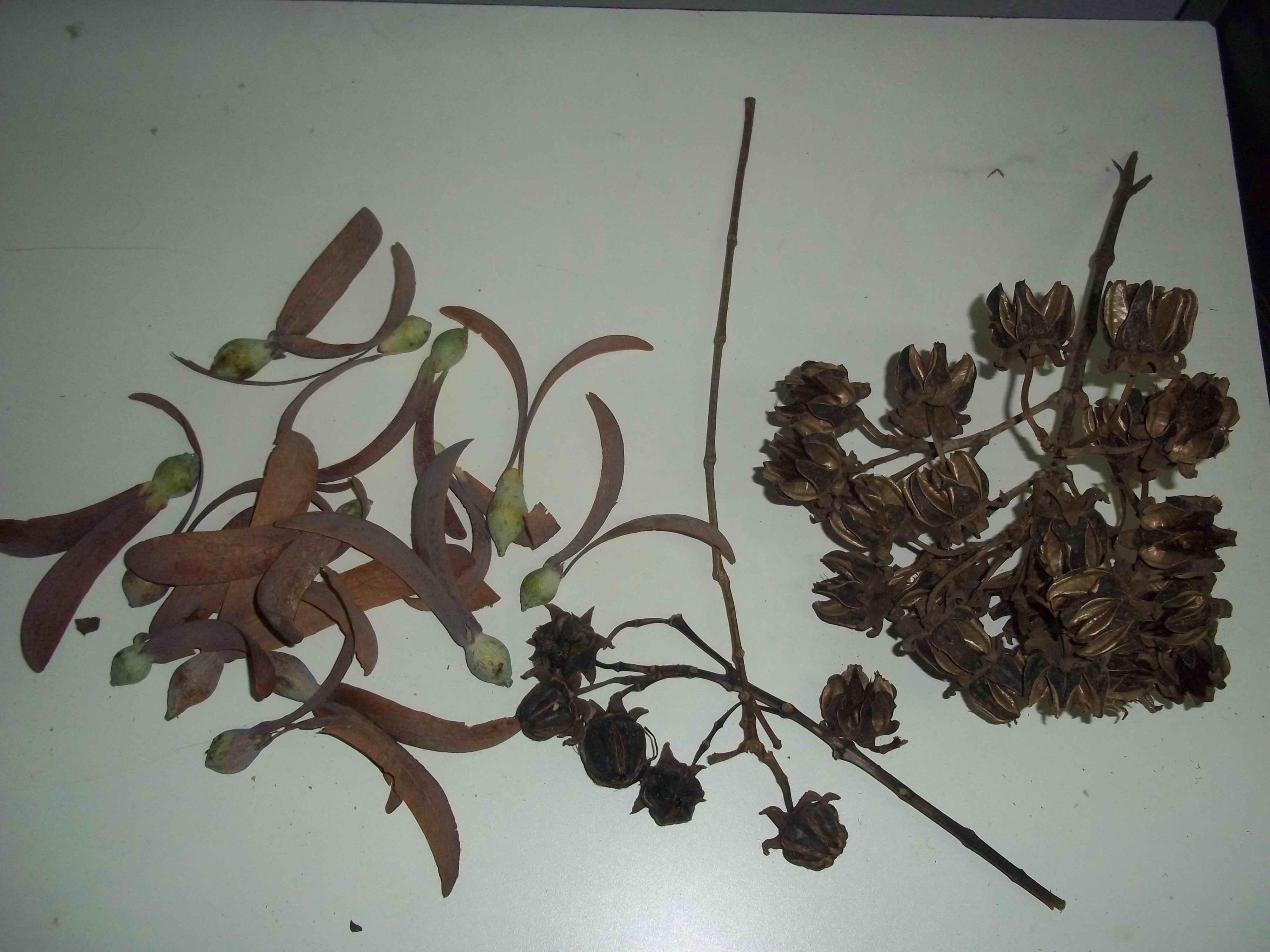 Seed of Dipterocarpus turbinatus & Duabaga grandiflora