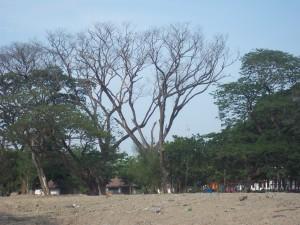 Dead & Dangerous Rain Trees