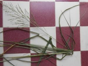 Panicum maximum - Seed Head. dry