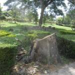 DSCN3712 -Railway Park Dead Bombax gone