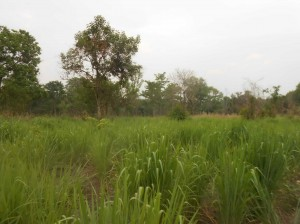 Huai Teung Thao - Army area tree planting site long grass