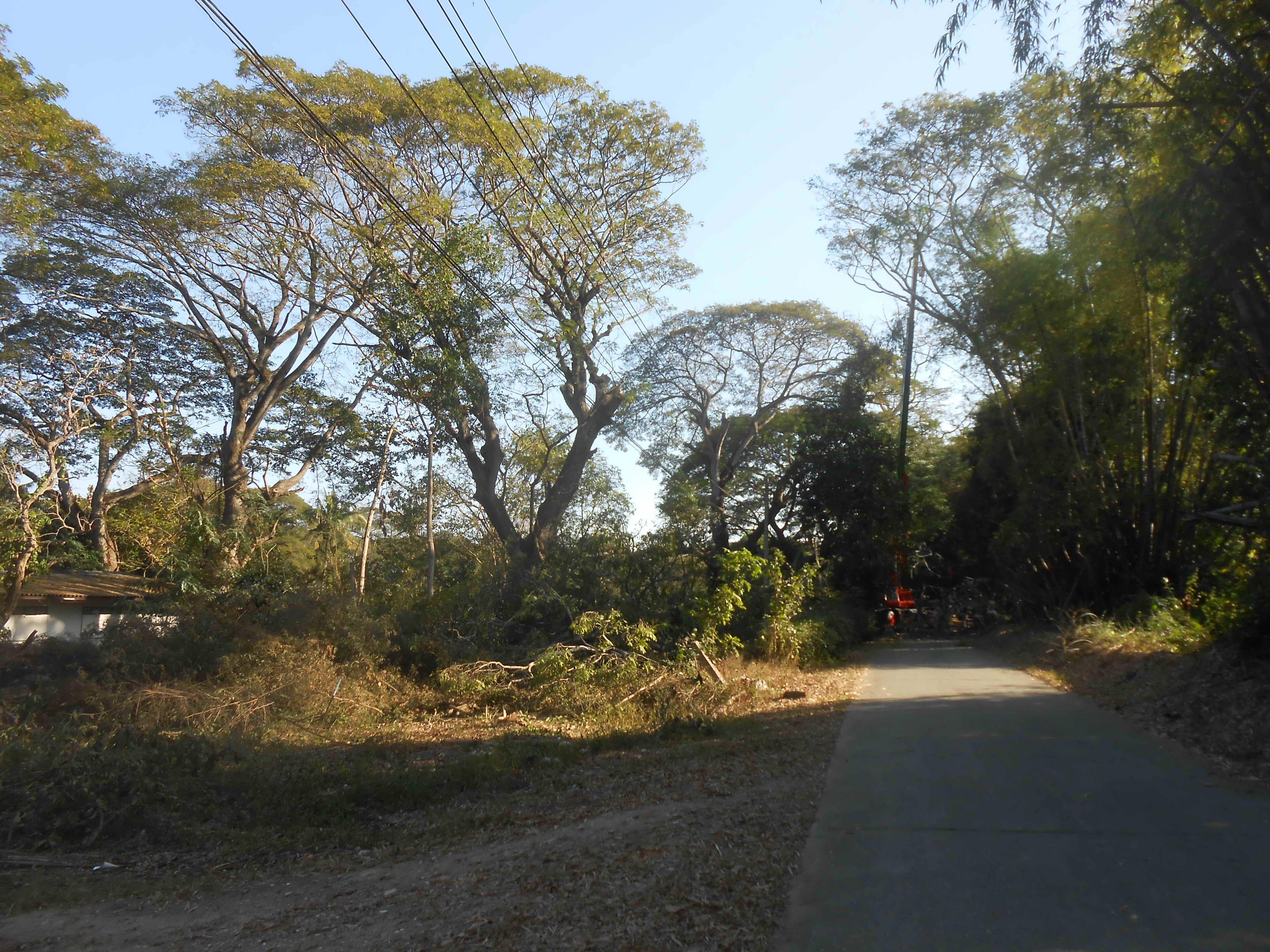 Chiang Mai Heritage Trees Axed