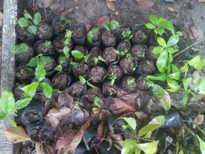 Seedlings from the Nan forests